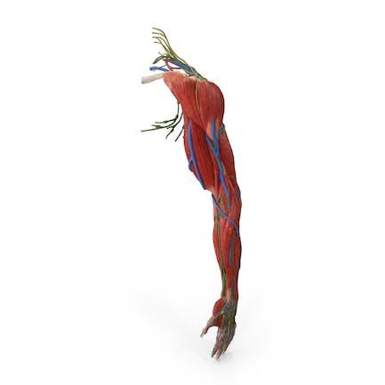 Anatomía completa del brazo masculino