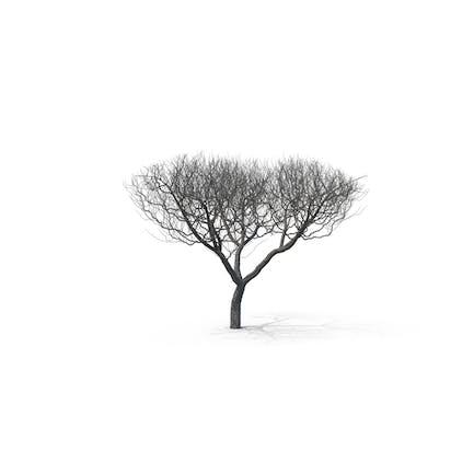 Bare Acacia