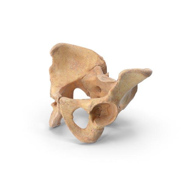 Thumbnail for Human Becken Sacrum Ilium Oschium Schambein