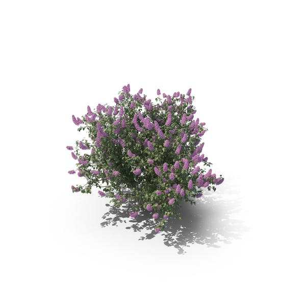 Cover Image for Lilac Bush