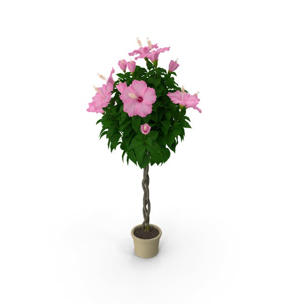 Thumbnail for Braided Hibiscus Tree in Pot Pink