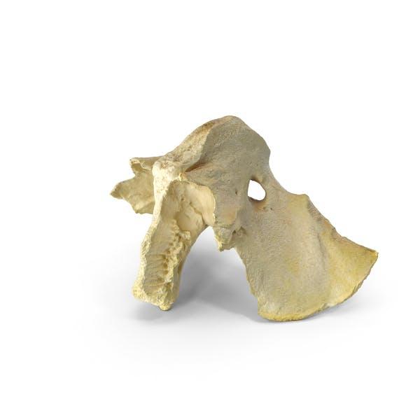 Domestic Calf ( Bos Primigenius Taurus ) Presphenoid Bone