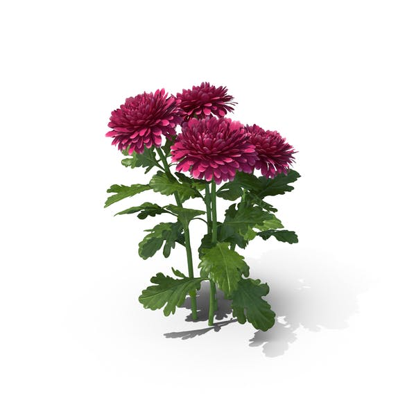 Thumbnail for Chrysanthemum