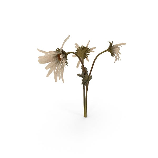 Cover Image for Withered Daisies