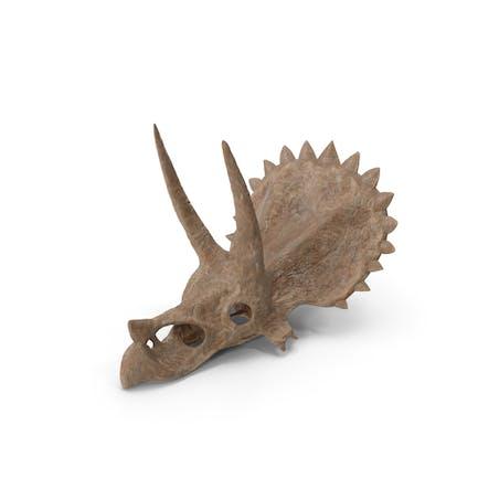 Triceratops Schädel-Teil Fossil