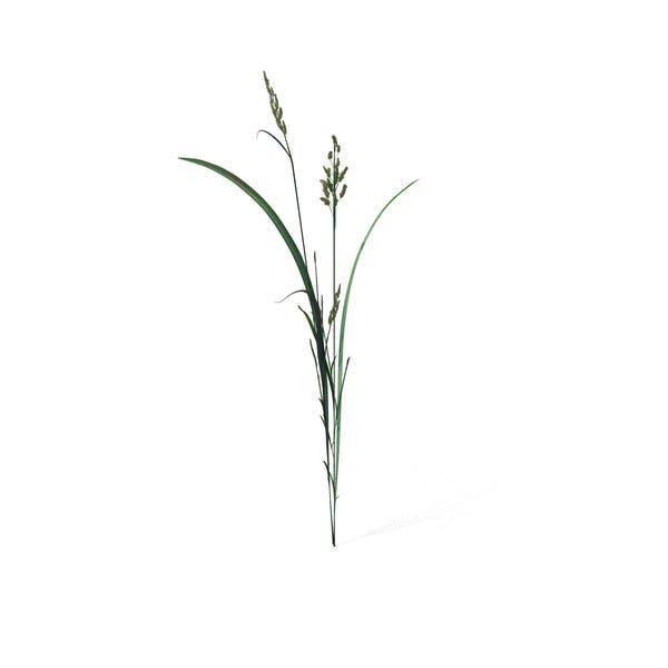 Thumbnail for Beckmannia Hirsutiflora