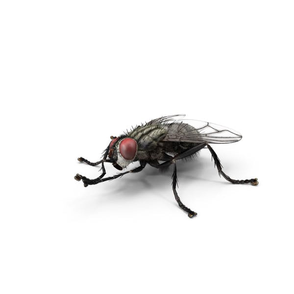 Cover Image for House Fly