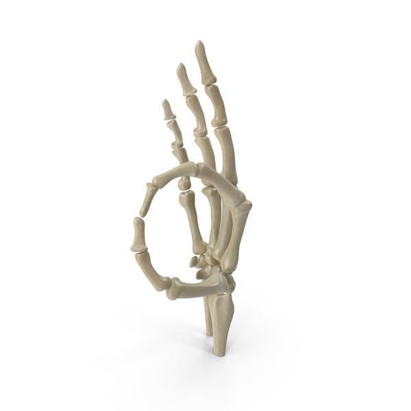 Размещенный скелет руки