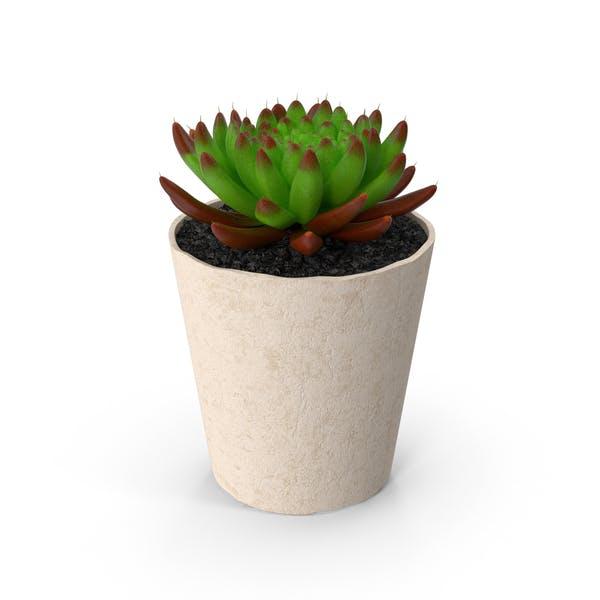 Thumbnail for Succulent