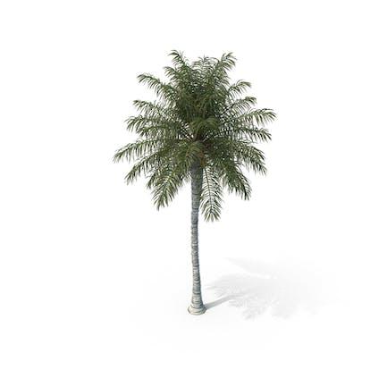 Palm Tree Acrocomia Aculeata