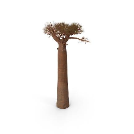 Leafless Baobab