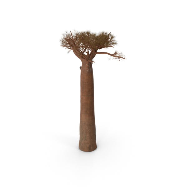 Thumbnail for Leafless Baobab