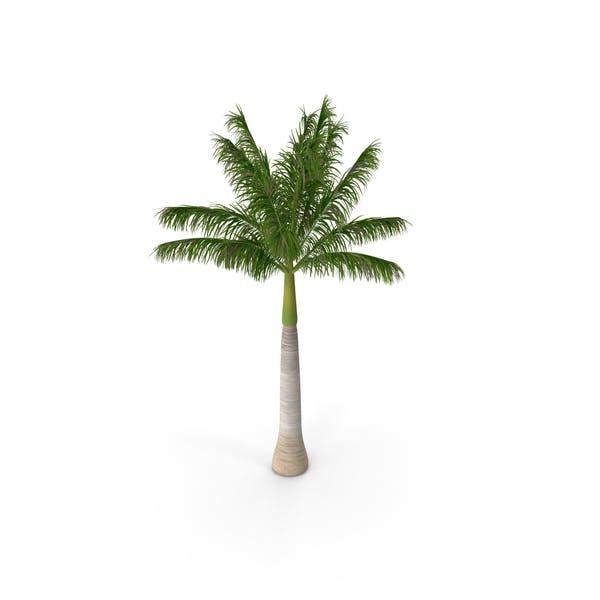 Roystonea Regia Palm