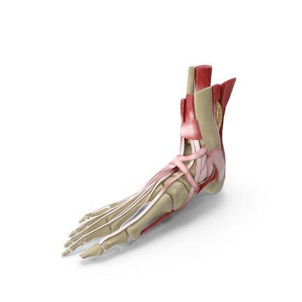 Anatomischer Fuß