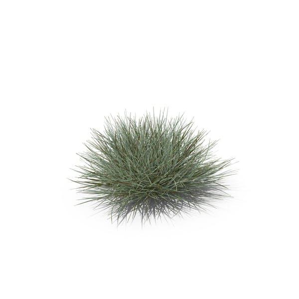 Thumbnail for Bulbous Oat Grass