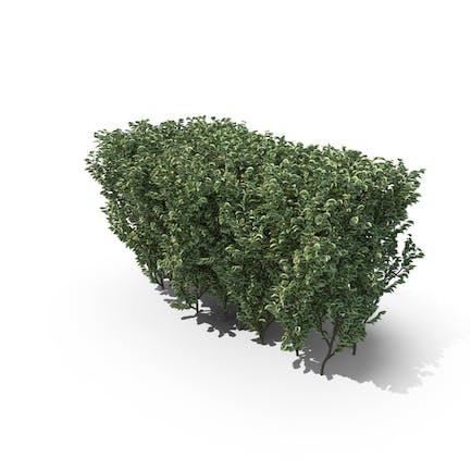 Geschnitten Buchsbaum