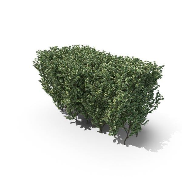 Thumbnail for Trimmed Boxwood