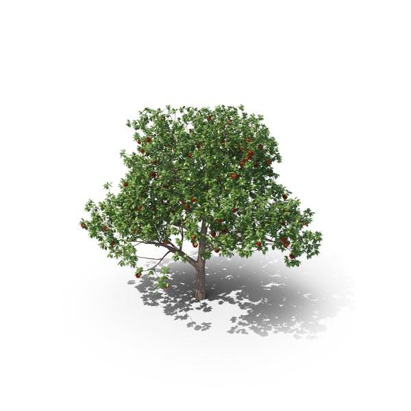 Thumbnail for Apple Tree