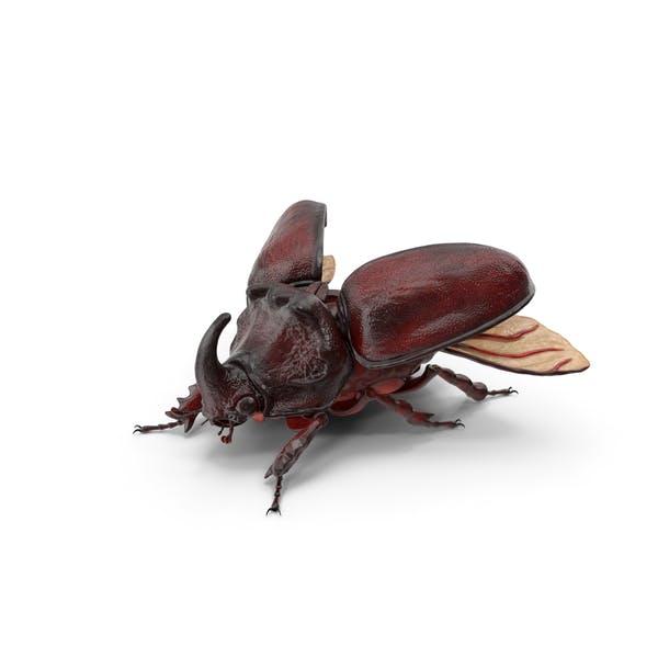 Thumbnail for Oryctes Nasicornis Rhinoceros Beetle