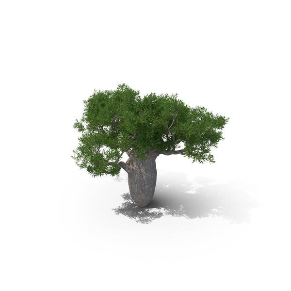 Queensland Bottle Tree 02