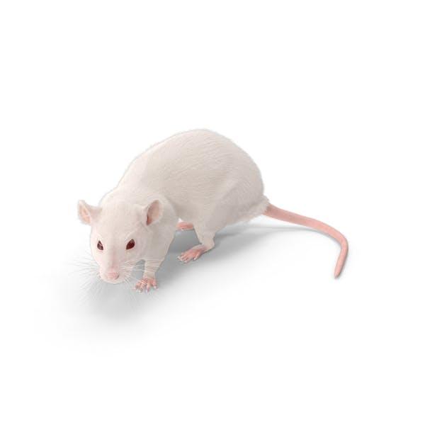 Thumbnail for Rat