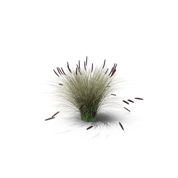 Cover Image for Foxtail Fountain Grass