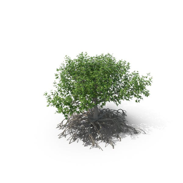Cover Image for Mangrove Tree