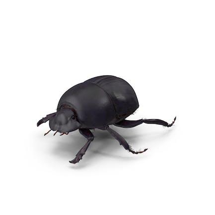 Schwarzer Skarabäus