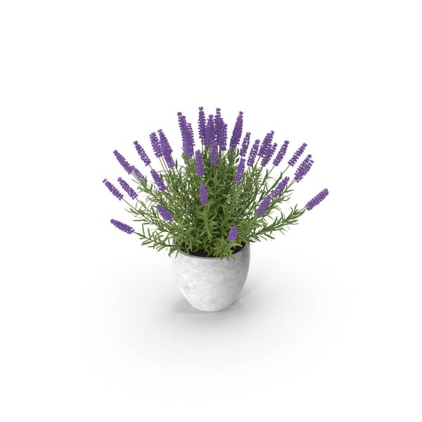 Thumbnail for Potted Lavender