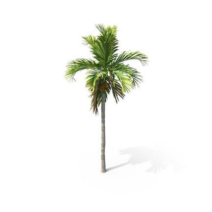 Palm Tree Areca Catechu