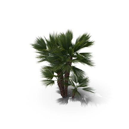 Palm Tree Chamaerops Humilis