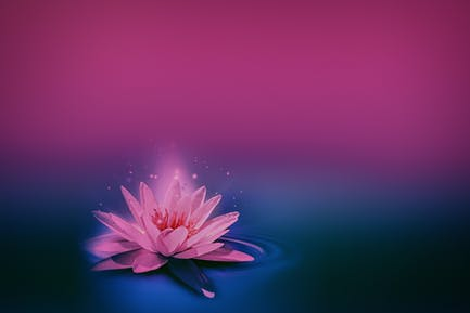 pink lily on dark water surface