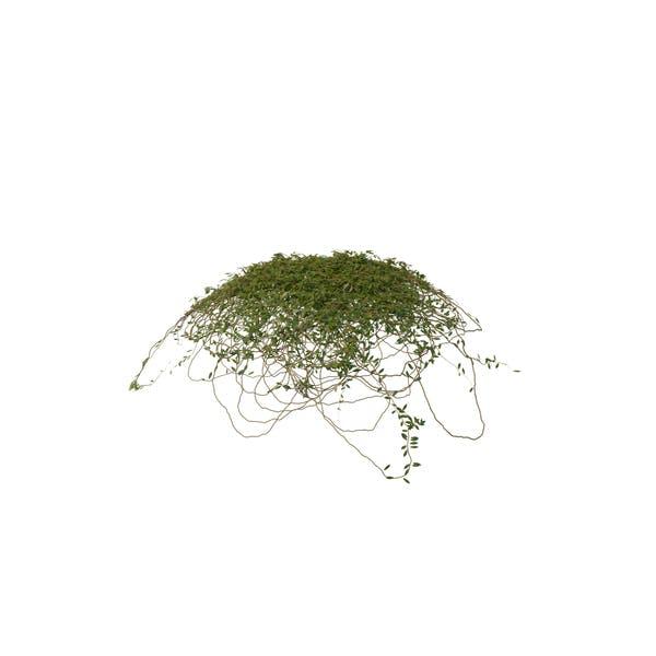 Ivy Dome Shape