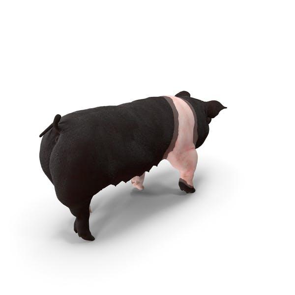 Hampshire Pig Sow Walking Pose