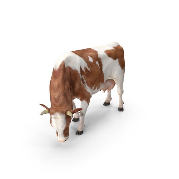 Гольштейнская корова ест позу