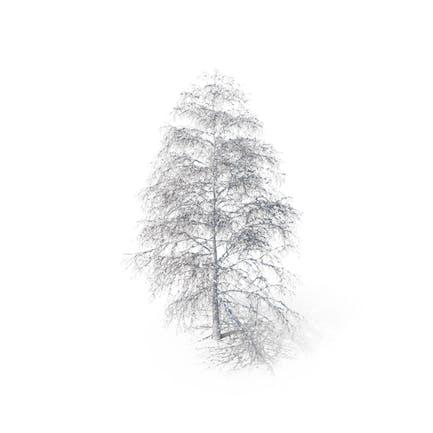 Birch Snow