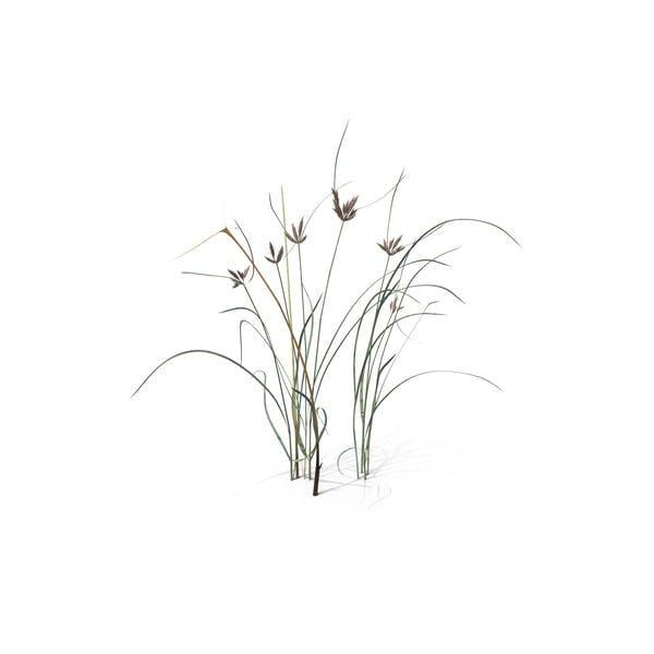 Bayonet Grass