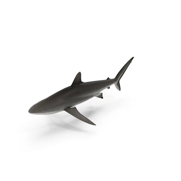 Thumbnail for Silky Shark