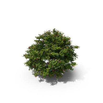 Arbusto Florado