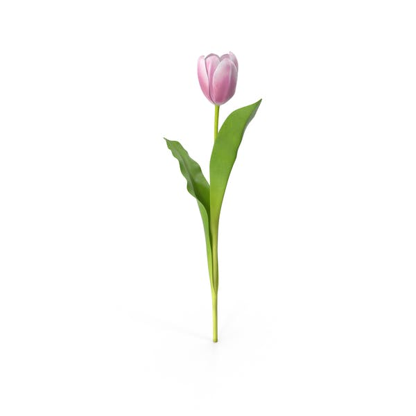 Cover Image for Tulip