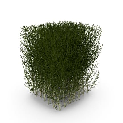 Square Bush