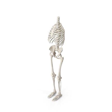 Menschliche Brustkorb Wirbelsäule Weibliche Becken- und Beinknochen Anatomie Mit Bandscheiben Weiß
