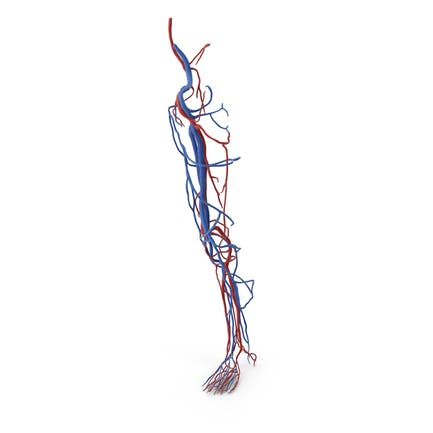 Herz-Kreislauf-System des menschlichen