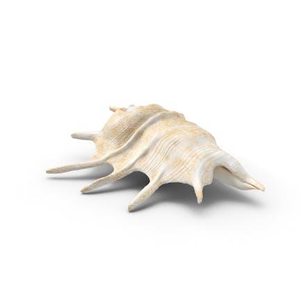 Murex Conch Shell