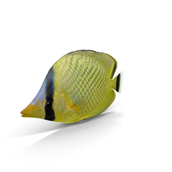 Thumbnail for Latticed Butterflyfish