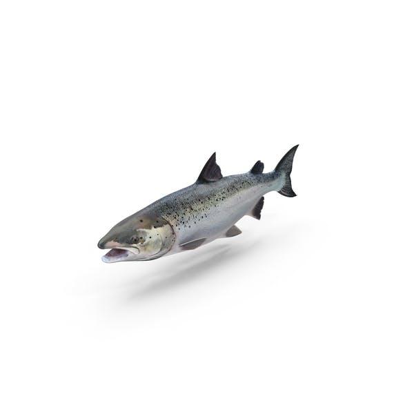 Atlantischer Lachsfisch