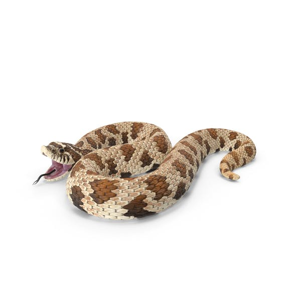 Braune Hognose Schlange Angriff Pose