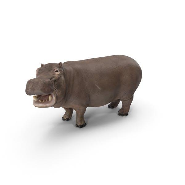Thumbnail for Hippopotamus