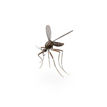 Mückenmücke