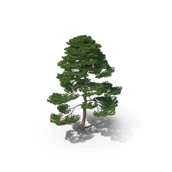 Thumbnail for Matsu Pine Tree